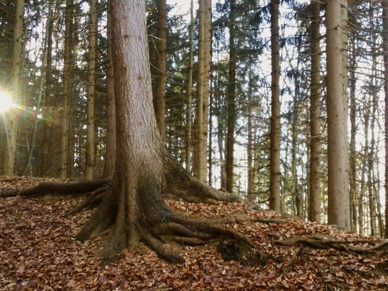 Das Bild zeigt einen Wald. Der Boden ist mit Laub bedeckt und durch Äste eines Tannesbaums kommen ein paar Sonnenstrahlen