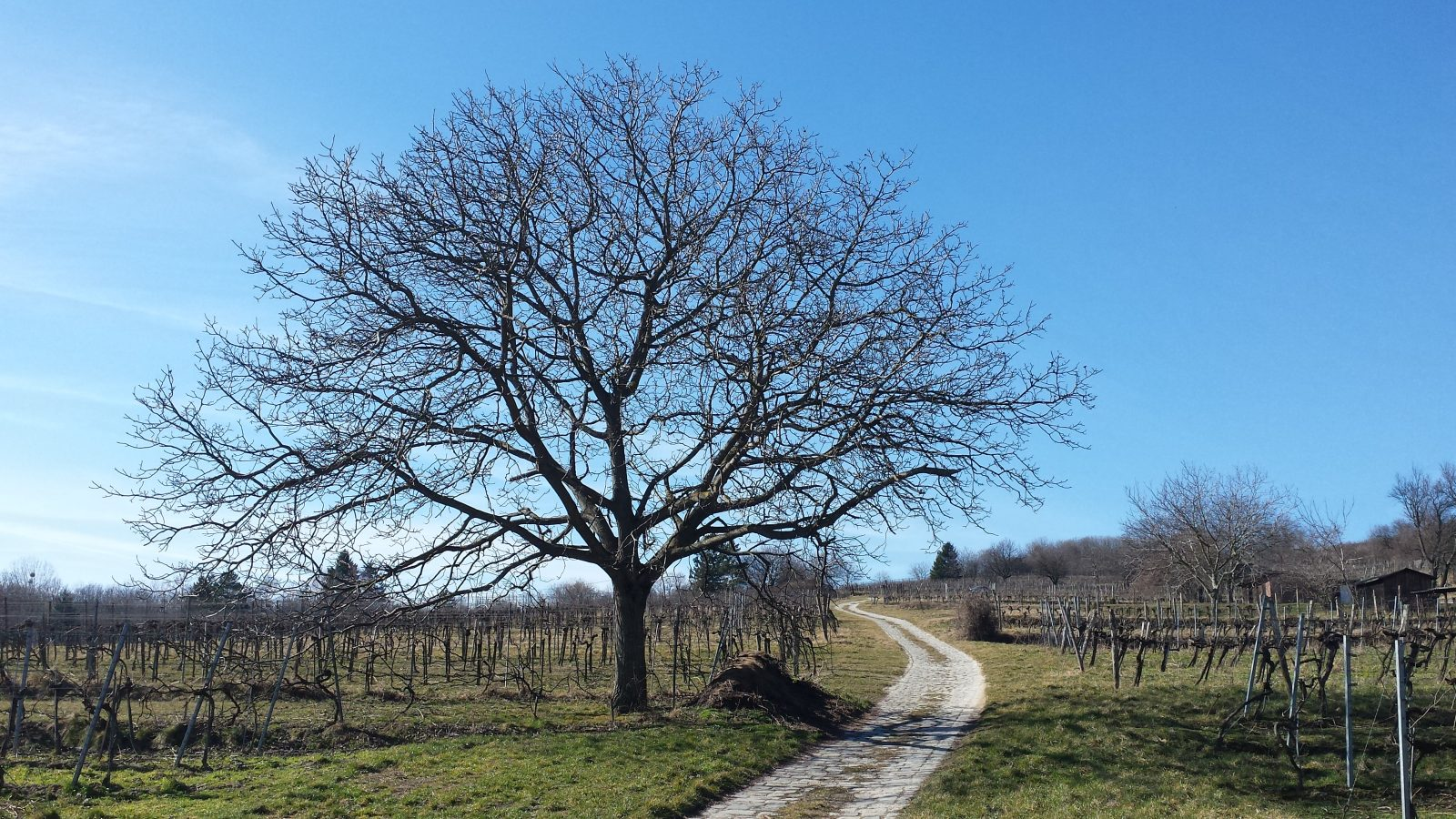 Picture shows a path leading up a wineyard. Next to the path is a tree. The sky is blue